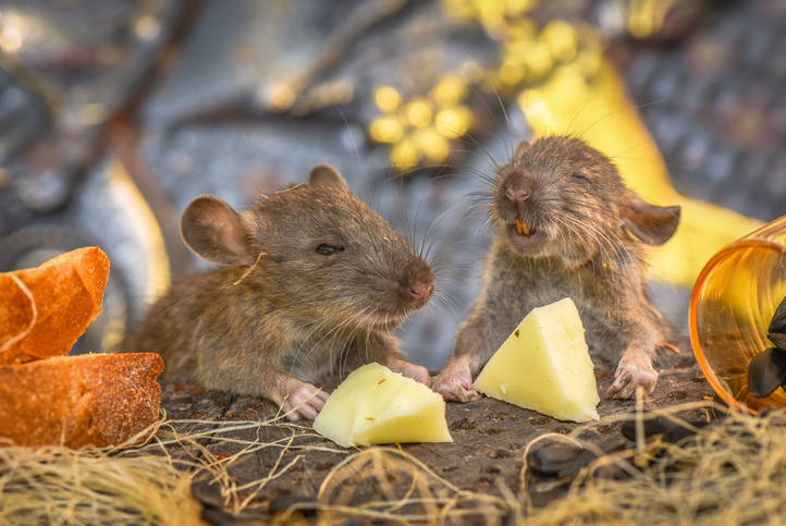 Rodent Control for Agriculture: Rats in Feed and Hay Have